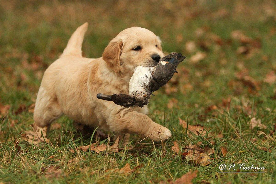 Golden Retriever Welpe mit Ente